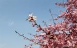زهور الكرز تتفتح عند أوائل الربيع في شانغهاي .jpg