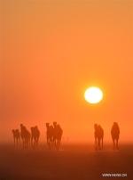 الجمال تسير في الصحراء عند شروق الشمس في محافظة الجهراء، الكويت .jpg