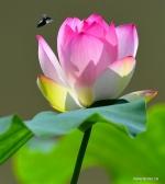تفتح أزهار اللوتس في أوائل الصيف في حدائق مدينة فوتشو بمقاطعة فوجيان في جنوب شرقي الصين .jpg