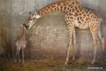 الزرافة الصغيرة يبلغ عمرها أسبوعين وأمها في حديقة الحيوان الكتابية في القدس .jpg
