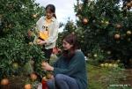 حلول موسم جمع ثمار الرمان في جنوب غربي الصين .jpg