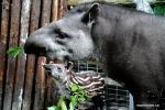 الحب بين تابير أمريكا الجنوبية صغير وأمه في حديقة شانغهاي للحيوانات .jpg