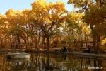 غابة حور فراتي في الخريف تجذب السياح بشمال غربي الصين .jpg