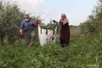 حصاد نبات العكوب في قلقيلية بفلسطين.jpg